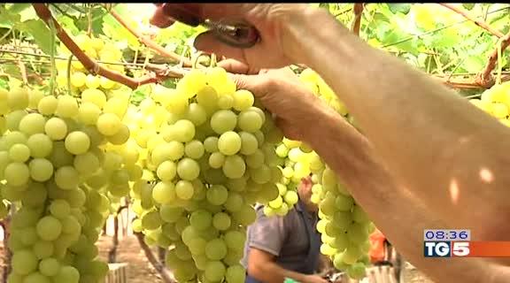 Tg5 gusto l 39 uva da tavola pi pregiata italia - Uva da tavola italia ...